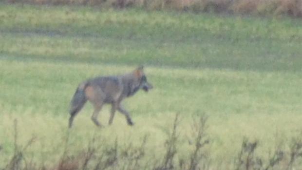 Ulven i DK